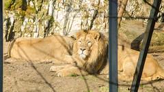 Lion d'Asie au repos