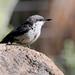 Pygmy Nuthatch -- Juvenile (Sitta pygmaea); Santa Fe National Forest, NM, Thompson Ridge [Lou Feltz]