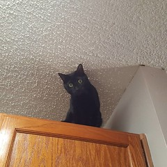 #housepanther #blackcatsclub when you go into the kitchen for a sec and look up and see your mini panther on the highest cabinet..my Pippin Sirius