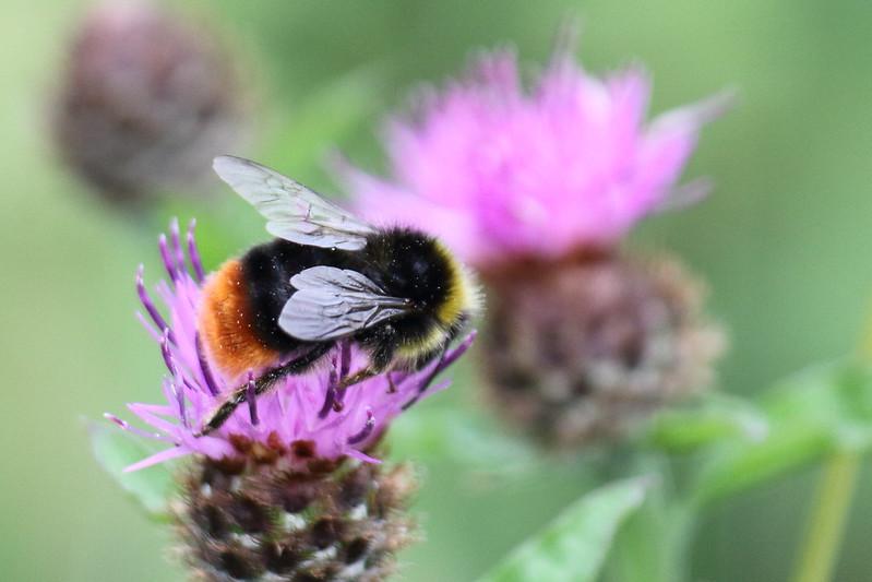 Orange Tailed Bumble Bee