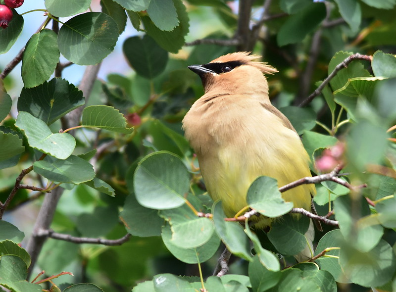 Cedar waxwing on Seedskadee National Wildlife Refuge