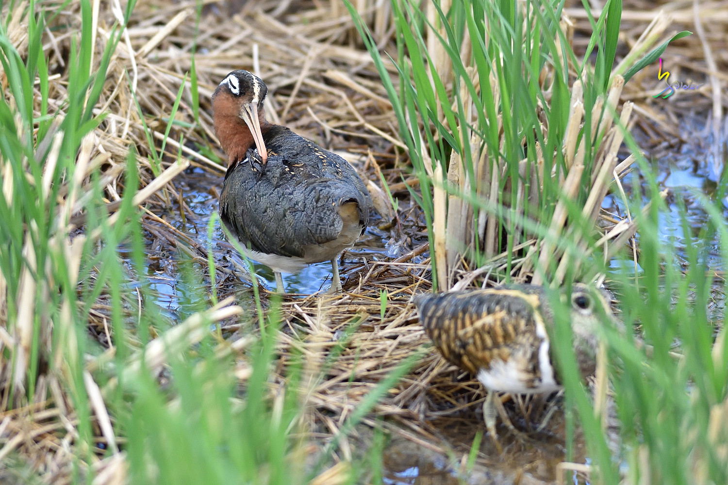 Painted_Snipe_1359