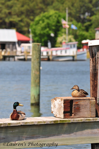 laurensphotography lauren3838photography ducks chesapeakebay chesapeakebaymaritimemuseum stmichaels milesriver md maryland nikon tamron150600 easternshore talbotcounty waterfowl d700 nature ilovenature landscape cbmm