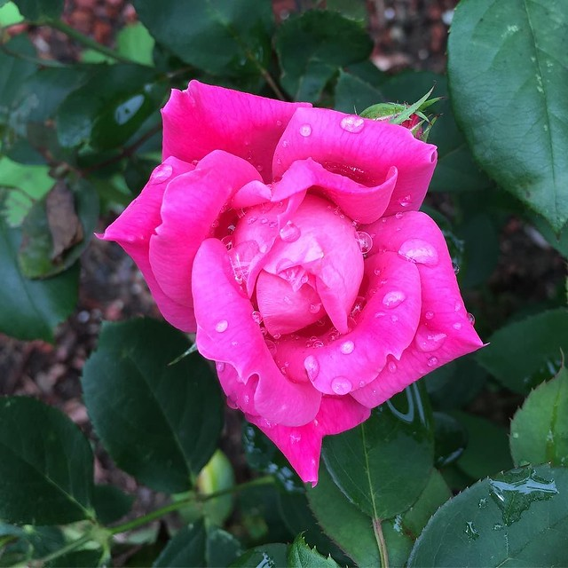 I'm going to get a second round of blooms from my dad's memorial rose bush. 🌹