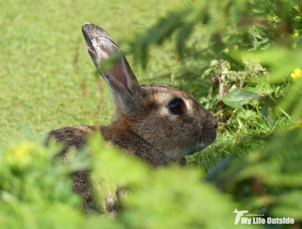 P1100017 - Rabbit, Lunga