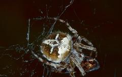 Velvet Orb-weaver Spider (Agalenatea redii) with prey ...