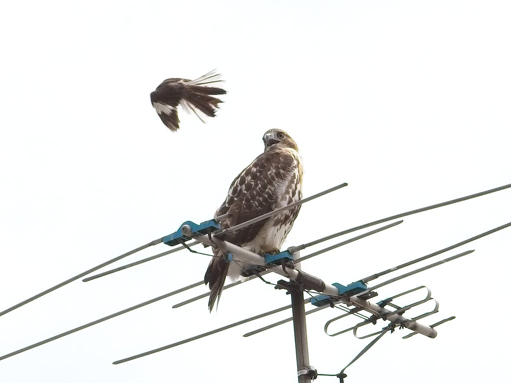Red-tail and mockingbird