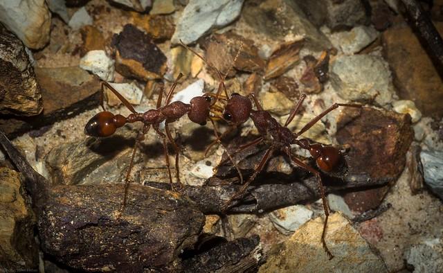 ant to ant combat