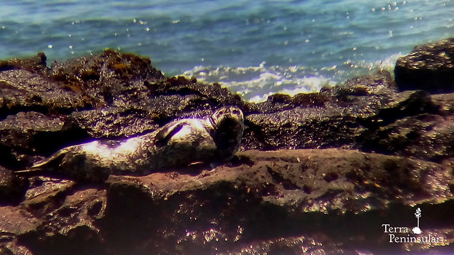 Foca vitulina en Punta Mazo