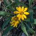 Arnica at top of Beacon Hill in Donner Summit area-01 7-15-17