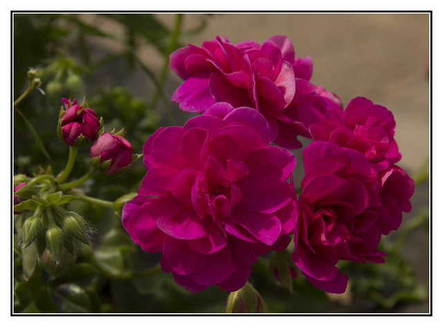A Cluster of Roses, Canon EOS 60D, Tamron 18-250mm f/3.5-6.3 Di II LD Aspherical [IF] Macro