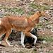 Ethiopian Wolf(Helen Pinchin)