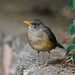 Small photo of African Thrush (Turdus pelios)