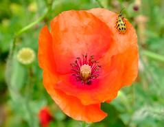 Poppy with L Bug