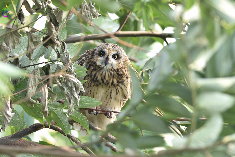 Short-eared_Owl_4093