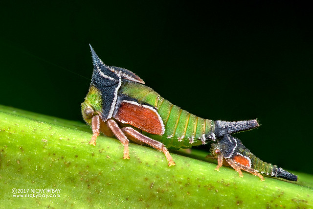 Treehoppers (Membracidae) - DSC_7313