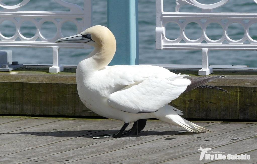 P1100666 - Gannet, Mumbles Pier