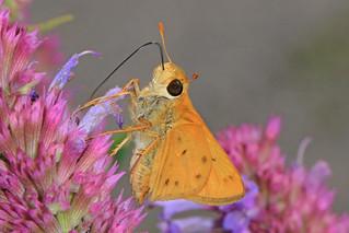 Fiery Skipper - Hylephila phyleus, Meadowood Farm SRMA, Mason Neck, Virginia