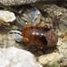 Geocoris sp. nymph (Geocoridae - Big-eyed Bugs) by Simon in the Alpujarras