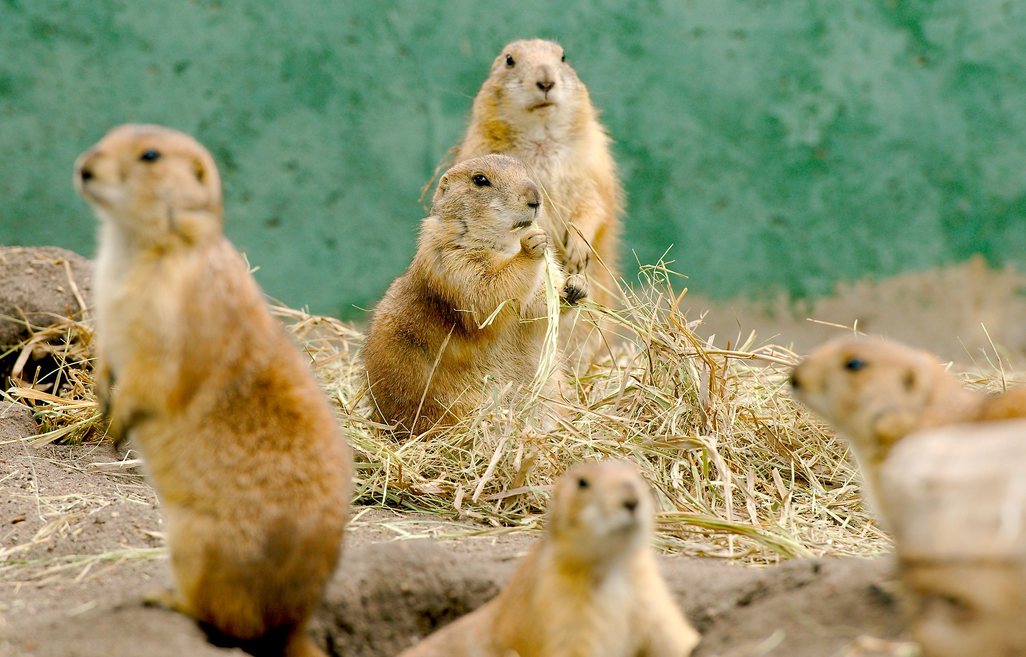 Prairie Dog_5