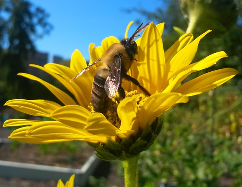 Bee on sunflower. Photographer Joann Kraft