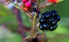 Ant Blackberry