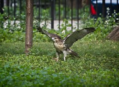 Fledgling hawk conquers a piece of wood