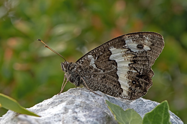 Brintesia circe - the Great Banded Grayling