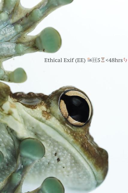 Amazon milk frog (Trachycephalus cunauaru).