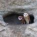 Barn Owl fledgling siblings by Omnitrigger