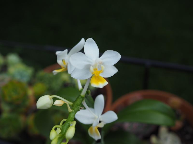 Phalaenopsis equestris var. aurea 35874353022_5dd75feb28_o