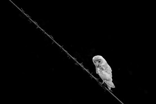 Barn owl on wire