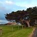 The Tree - Portland (Victoria)
