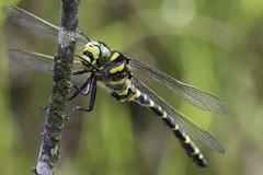 HolderGolden-ringed Dragonfly (Cordulegaster boltonii)