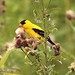 July Feast for Goldfinches