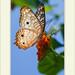 Anartia jatrophae - White Peacock por J. Amorin