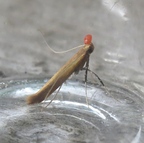 Caloptilia rufipennella Tophill Low NR, East Yorkshire July 2017