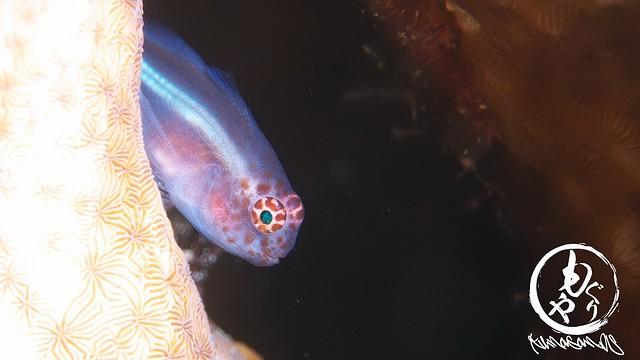 イチモンジコバンハゼ幼魚ちゃん♪