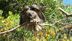 Great Horned owlet from Golden Gate Park