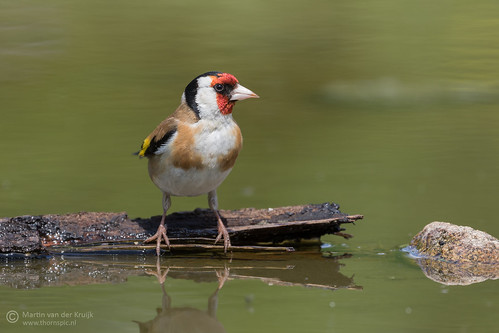 Goldfinch - Putter - Distelvink