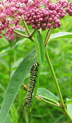 Full-grown Monarch Caterpillar