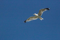 Seagull over Lake Erie Bluffs