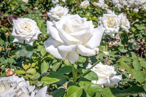 John Paul II Rose