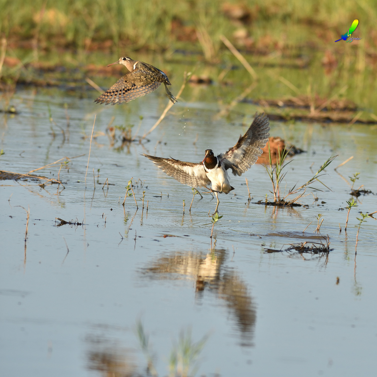 Painted_Snipe_0204