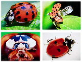 Collage of Harmonia axyridis (Asian Lady Beetle, Harlequin, Multicoloured Asian Beetle), 14 July 2017