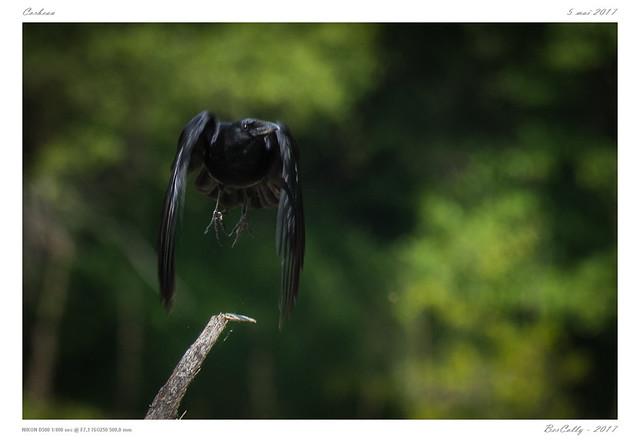 Corbeau freux | Corvus frugilegus | Rook