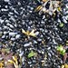 Small photo of A couple of mussels.