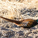 Ring-necked Pheasant, male by Manuel ROMARIS