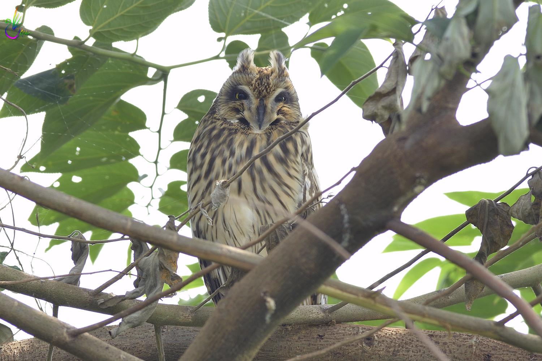 Short-eared_Owl_3146