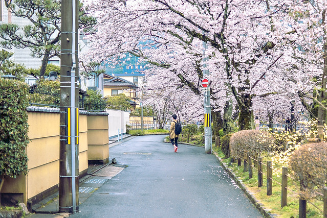 2017 Kansai sakura-1-6